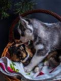 Chiot mignon de chien de traîneau sibérien caressant le chaton mignon Images libres de droits