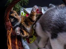 Chiot mignon de chien de traîneau sibérien caressant le chaton mignon Image stock