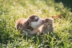 Chiot mignon de chien de traîneau sibérien et mensonge tigré de chaton Image libre de droits