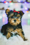Chiot mignon de chien terrier de Yorkshire Photos stock