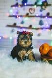 Chiot mignon de chien terrier de Yorkshire Photographie stock libre de droits