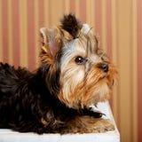 Chiot mignon de chien terrier de Yorkshire Image stock
