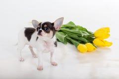 Chiot mignon de chiwawa avec le bouquet des fleurs jaunes Photo stock