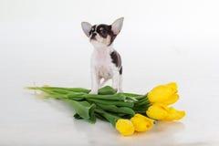 Chiot mignon de chiwawa avec le bouquet des tulipes jaunes Photographie stock