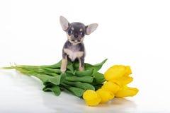 Chiot mignon de chiwawa avec les tulipes jaunes Photos libres de droits