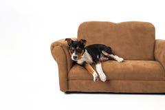 Chiot mignon de divan Images stock