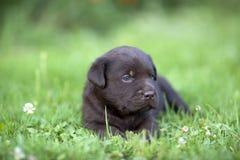 Chiot mignon de Labrador Image libre de droits