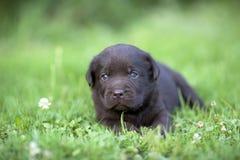 Chiot mignon de Labrador Image stock