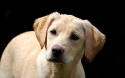 Chiot mignon de Labrador Photo stock