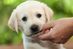 Chiot mignon de Labrador mâchant sur le doigt de propriétaires - fin  image libre de droits