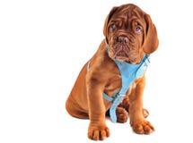 chiot mignon de mastiff Images libres de droits