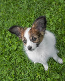 Chiot mignon de Papillon Photos stock