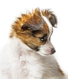 Chiot mignon de Papillon Photo libre de droits