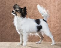 Chiot mignon de Papillon photo stock