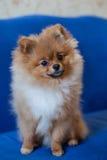 Chiot mignon de Pomeranian sur un fond bleu Photographie stock