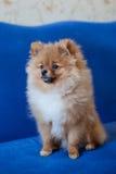 Chiot mignon de Pomeranian sur un fond bleu Image libre de droits