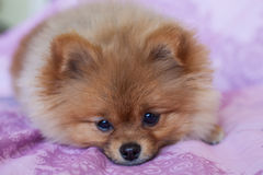 Chiot mignon de Pomeranian sur un fond rose Image libre de droits