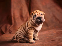 Chiot mignon de sharpei Photos libres de droits