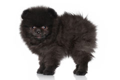 Chiot mignon de spitz Photo stock