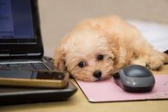 Chiot mignon et curieux de caniche se reposant sur un bureau Image libre de droits