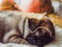 Chiot mignon et doux, dormant sur une couverture photographie stock libre de droits