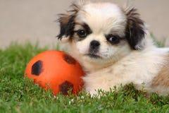 Chiot mignon jouant avec la boule photos stock