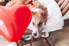 Chiot mignon regardant le coeur rouge Concept heureux de jour du ` s de Valentine Images libres de droits