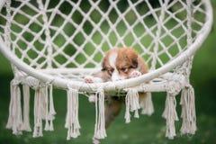 Chiot mignon rouge de border collie dans un hamac images libres de droits