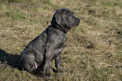 Chiot napolitain de Mastiff Photographie stock