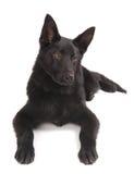 Chiot noir de berger allemand Photographie stock libre de droits
