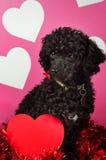 Chiot noir de carniche avec des coeurs de Valentine Photo libre de droits