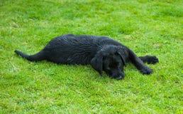 Chiot noir de chien d'arrêt Image libre de droits