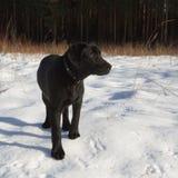 Chiot noir de chien d'arrêt de Labrador Photo stock