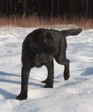 Chiot noir de chien d'arrêt de Labrador Photographie stock libre de droits
