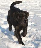 Chiot noir de chien d'arrêt de Labrador Image stock