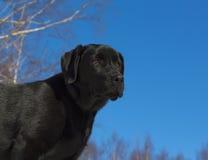 Chiot noir de chien d'arrêt de Labrador Images stock