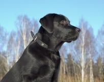 Chiot noir de chien d'arrêt de Labrador Photographie stock