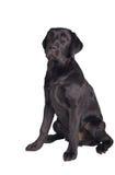 Chiot noir de chien d'arrêt de Labrador Photos libres de droits