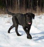 Chiot noir de chien d'arrêt de Labrador Image libre de droits