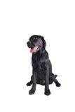Chiot noir de chien d'arrêt de Labrador Photos stock