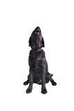 Chiot noir de chien d'arrêt de Labrador Photo libre de droits