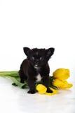Chiot noir de chiwawa avec les tulipes jaunes Images stock