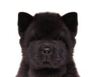 Chiot noir de chow-chow Image libre de droits