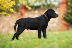 Chiot noir de Labrador Photographie stock