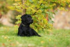 Chiot noir de Labrador Photo stock