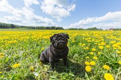 Chiot noir de roquet dans l'herbe Photographie stock libre de droits
