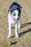 Chiot noir et blanc de border collie faisant une pause de chasser une boule en parc de chien Image libre de droits