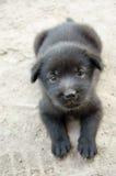 Chiot noir mignon Photo libre de droits