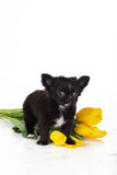 Chiot noir velu de chiwawa avec les tulipes jaunes Photos stock