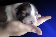 Chiot nouveau-né dans la paume de votre main Images libres de droits